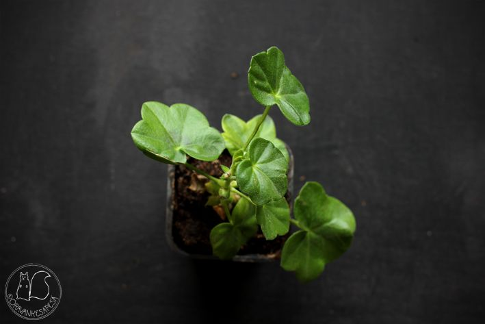 Oravankesäpesä   Riippapelargoni Pelargonium pelatatum 'PAC Tom Cat'