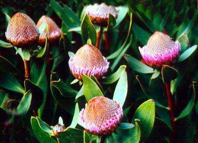 Isopogon latifolius • Australian Native Plants Nursery • Plants • 800.701.6517