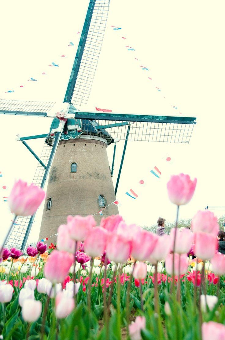 Tulip - OGQ Backgrounds HD