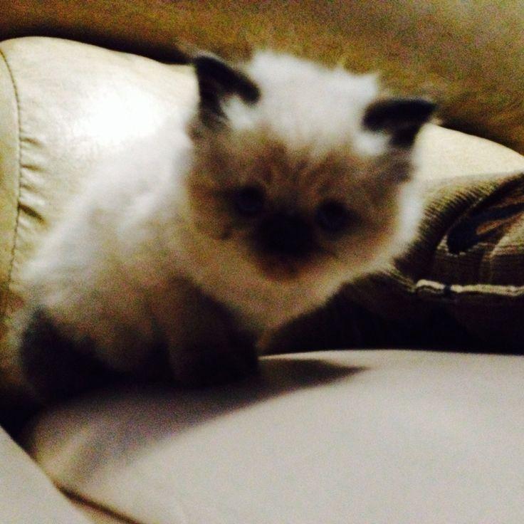 #himalaya #thecat #cat #pet #kitten