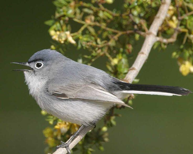Blue-gray Gnatcatcher | Audubon Field Guide