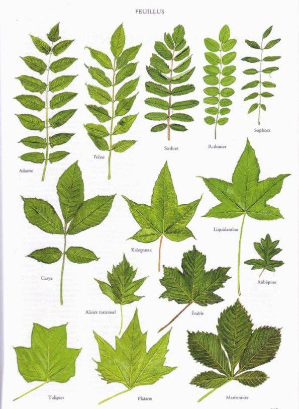 Les 25 meilleures id es concernant reconnaitre les arbres sur pinterest feuillus guirlande - Sur quoi pousse les ananas ...