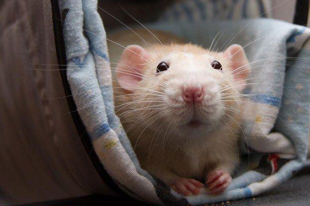 1000+ ideas about Dumbo Rat on Pinterest | Rats, Pet Rats ... | 625 x 416 jpeg 37kB