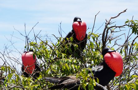 """""""My first time to see these frigate birds and the fact that all three had their throat pouches inflated was an amazing sight. These birds are beautiful.""""  Join the #MyNatureMoment movement here: bit.ly/24yVWYL"""