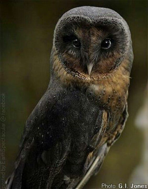 377 best Owls images on Pinterest | Barn owls, Cutest ...