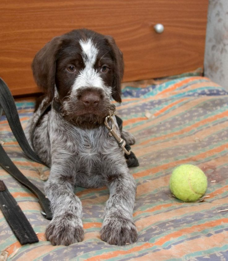 15 best Drahthaar images on Pinterest | German wirehaired pointer ...
