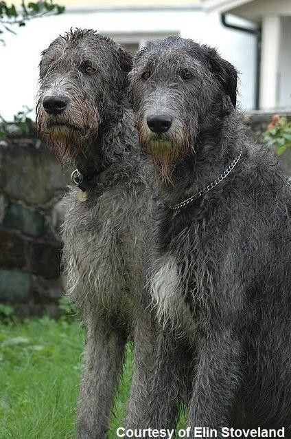 Irish wolfhounds by mog10102010 | Irish Wolfhound | Pinterest