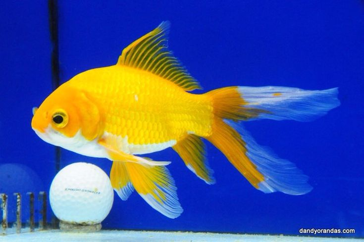 Goldfish yellow comet from dandy orandas goldfish for for Comet pond fish