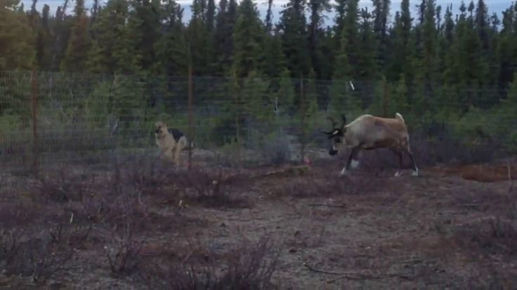 Young Reindeer Runs a Friendly Race With Playful German Shepherd on the Other Side of a Fence