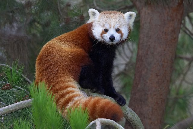 The Chinese name for the red panda is hun-ho, meaning fire fox.