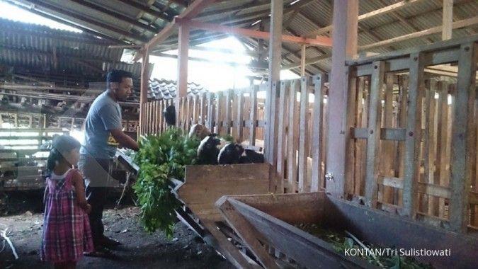 Tawa Riang Gembira Peternak Etawa Banyuwangi (1)