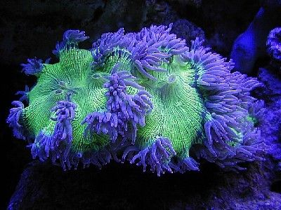 Closed & Open Brain Coral Photos