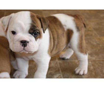 old english bulldog puppies - i just can't get enough..