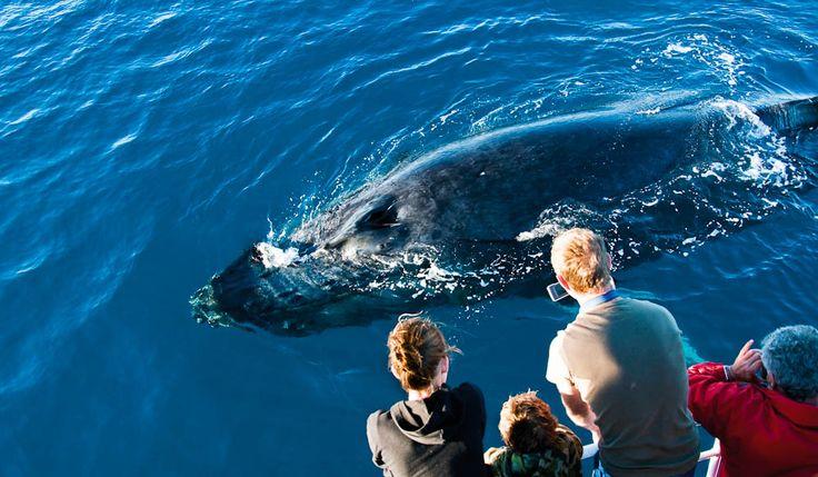 Hervey Bay: whale watching wonderland