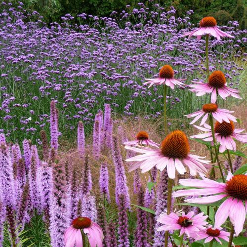 hoge vlinderplant met paarse bloem - Google zoeken