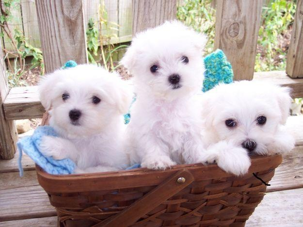 Maltese puppies...love!