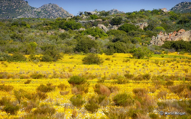The wild flowers of the Cederberg, Clanwilliam, Western Cape