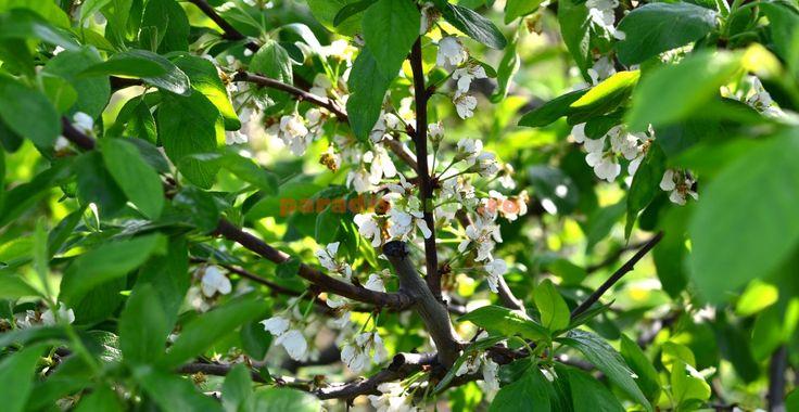 Cea mai simplă și ecologică schemă de tratamente chimice pentru toți pomii din livadă