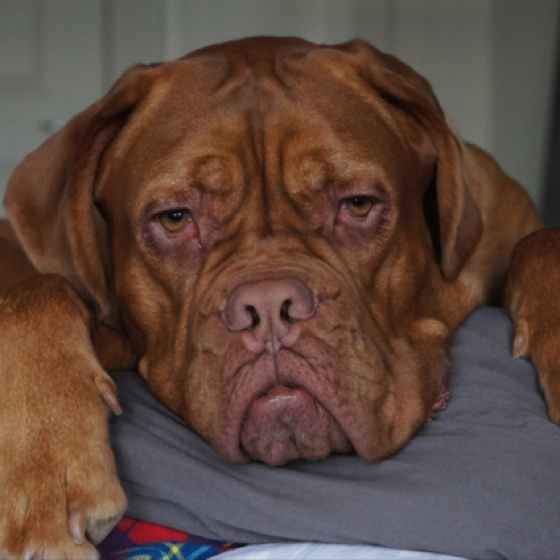 My French bull mastiff. All 120lbs of her.