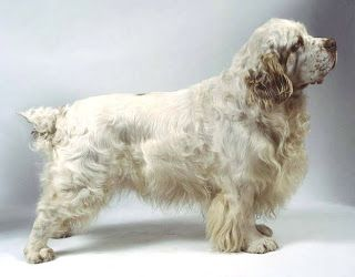 PUPPY CARE CENTER: CLUMBER SPANIEL