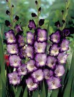 20 graines/sac Différentes Vivaces Glaïeul Fleur Graines, Rare Épée Lily Graines très beautoful pour la maison jardin plantation