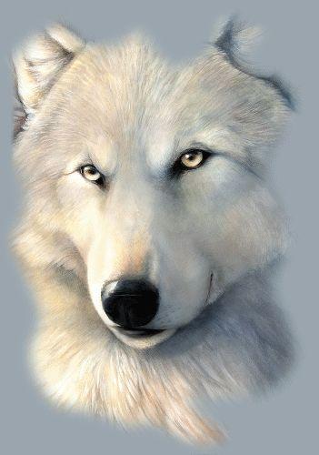 Magnifique portrait d'un loup blanc...