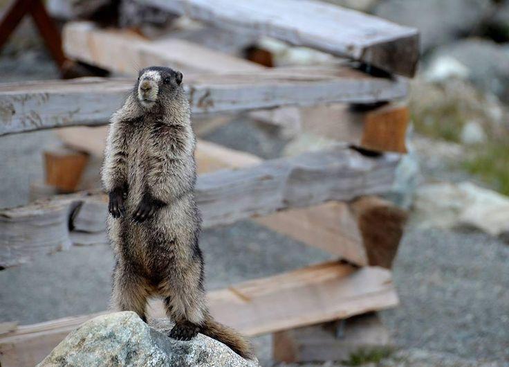 Marmot BC Canada Whistler Mountain