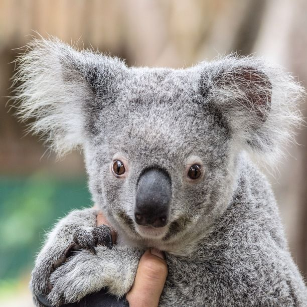 Currumbin Wildlife Sanctuary, Currumbin Valley, Australia — by Jewelszee. Cutest Koalas on earth seem to all live at Currumbin Wildlife Sanctuary on the Gold Coast, Qld!! #thisisqueensland