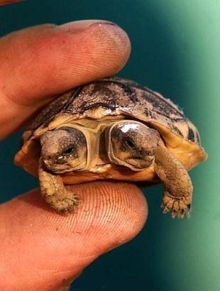 Two Headed Tortoise