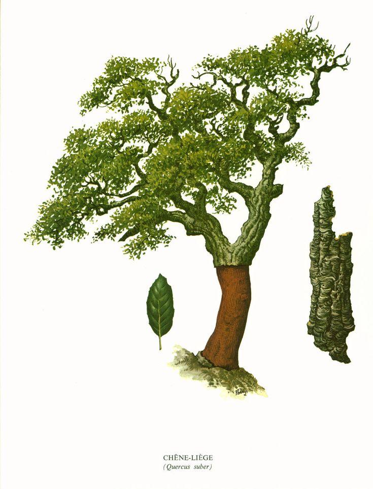 1967 Chêne-liège Planche Botanique Arbres Feuillus Forets Histoire Naturelle Dendrologie de la boutique sofrenchvintage sur Etsy