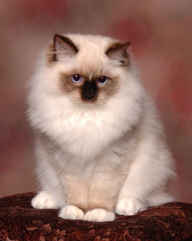 Chocolate Mitted with a star blaze