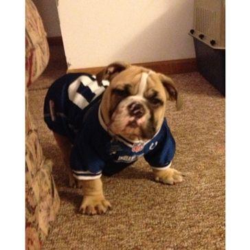 English Bulldog puppy ~ practicing his tackle