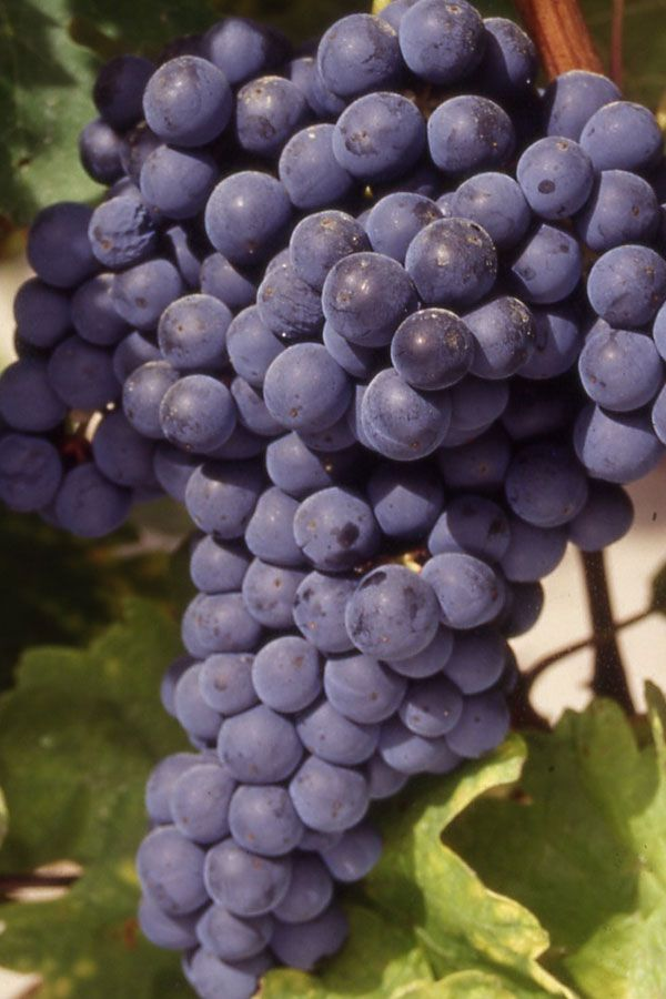 Tempranillo - It is the leading red grape in Spain, where it is called by many names according to where it's grown. It is most distinguished as the main grape of Rioja and Ribera del Duero, where, particularly in the higher altitude vineyard locations, it is produced in elegant, age-worthy wines.  http://www.snooth.com/varietal/tempranillo/