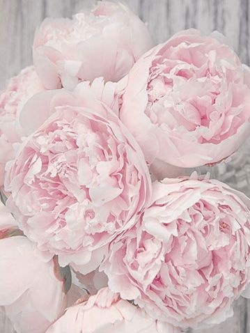 Peonies in the palest of pinks