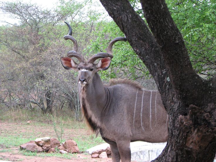 awesome male kudu in our garden