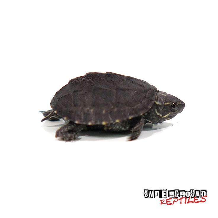 Awesome Baby Stinkpot Musk Turtles for sale at the lowest prices only at Underground Reptiles. Ships Priority Overnight. Live Arrival Guarantee.