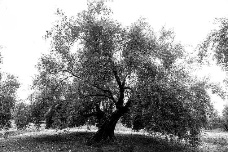 """Olivo - Olivo, en Lopera (Jaén), un grupo de olivos llamados """"chopos"""", son los más antiguos del término, olivos centenarios que no se sabe con exactitud su edad, sorprenden por su tamaño y formas"""