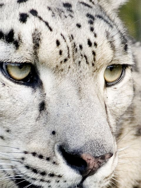 Snow Leopard   eyes-of-the-cat:  by rofanator - Flickr