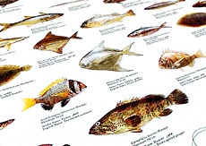 Fish of the Arabian Gulf   Illustrating 60 of the most common fish and shellfish species. Sizes indicated.   Names in:   LAT / ARA / GB