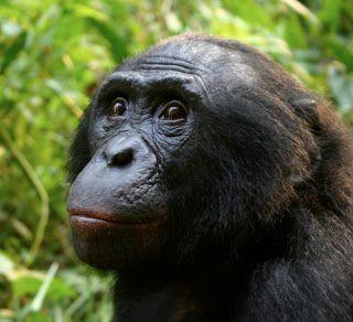 O bonobo, chimpanzé-pigmeu, chimpanzé-anão ou chimpanzé-grácil (Pan paniscus) é uma das duas espécies de chimpanzé, sendo a espécie animal atual mais próxima do ser humano.