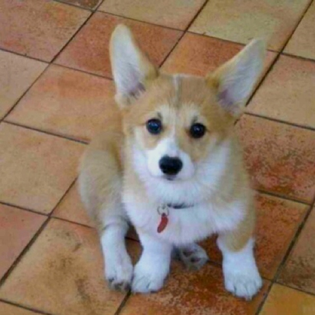 This is what breed my dog Dozer is..corgi :) awh