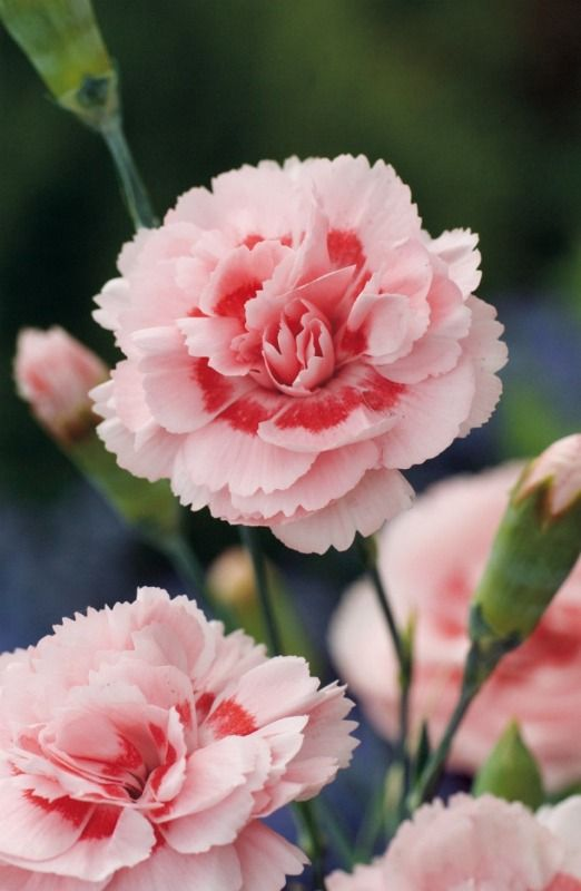 Pink Carnation 'Doris,' uncredited CARNATIONS ARE ONE OF MY FAVORITE FLOWERS FOR THE SUBTLE SCENT.  IT REMINDS ME OF BEING A TEENAGER.