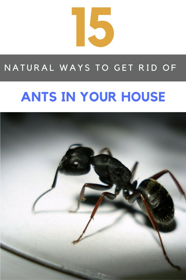 15 Best Ways To Get Rid Of Ants In House Naturally Ant