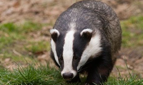 Pilot badger culls, designed to reduce TB in cattle, could be in breach of the Bern Convention that protects EU wildlife and habitats. Description from theguardian.com. I searched for this on bing.com/images