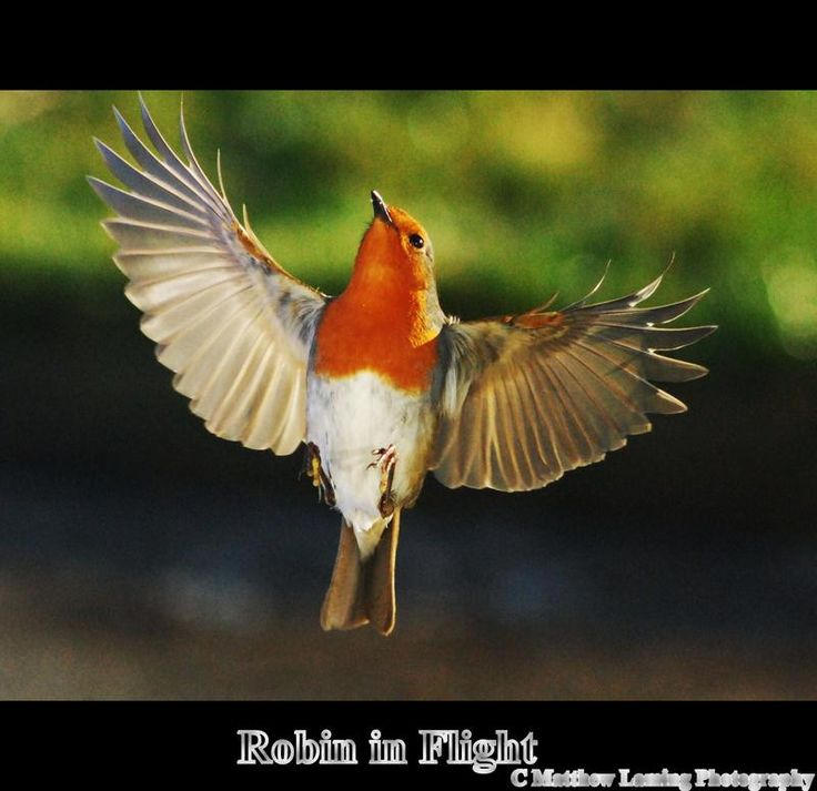 Red Robin In Flight
