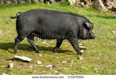 Black Iberian pig running free on dehesa meadow. Extremadura Spain