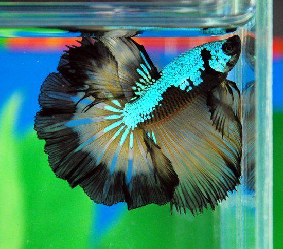 Halfmoon Rosetail Metallic Dragon Butterfly Betta Splendens