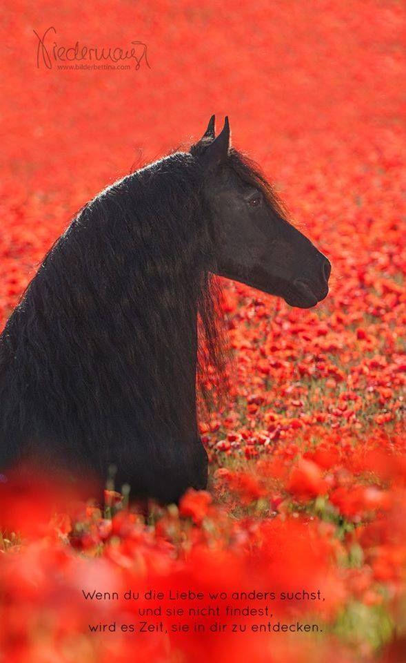 Ein wunderschöner Kontrast zwischen diesem schwarzen Pferd und dem roten Mohnbl… – Riinaa Chen