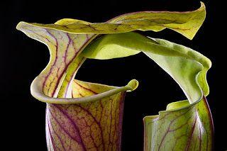 Плотоядные растения: Саррацения