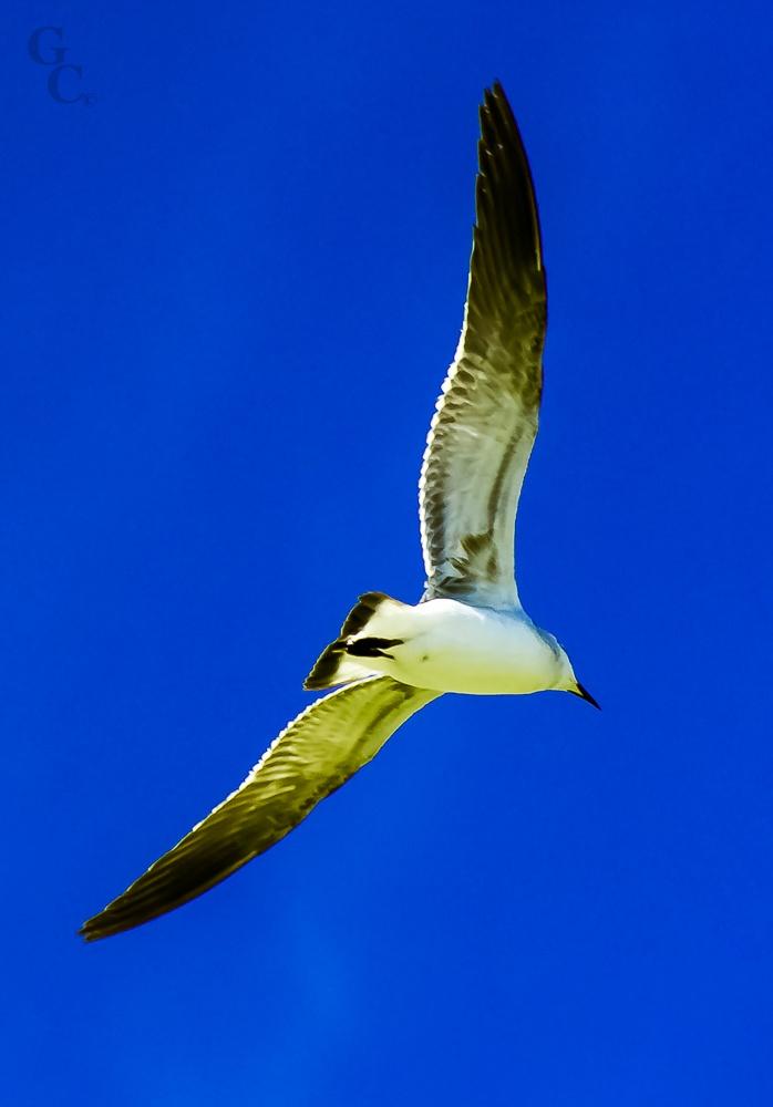 Gaviota en pleno vuelo